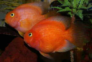 Looking for 3+ inches cichlids
