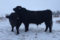 2 Yr Old Hfr & Cow Bulls For Sale From Bronyx Angus