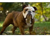 2 year old british bulldog free to a good home