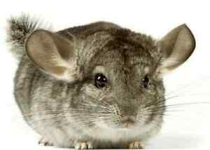 looking for chinchilla for a loving home