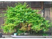 Large Exhibition Quality Acer Palmatum Forest Bonsai