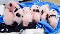 Mini Pet Pigs! now Accepting Deposits For 2016!