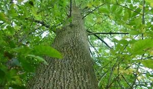 FREE FIRE WOOD: Ash trees to be cut