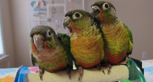 Conure Parrots  Yellow sided and Pineapple Baby Parrots