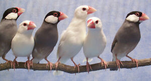 Java Rice Finches