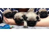 Beautiful pug puppies 🐶 1 girl and 2 boys left