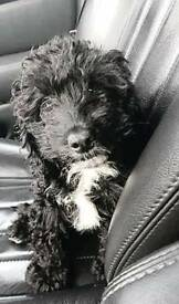 Cockerpoo puppy