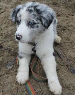 Wanted: (WANTING) Blue Merle Border Collie