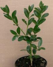 20 buxus japonica St Georges Basin Shoalhaven Area Preview