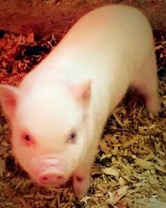Mini Micro Pigs - ONLY 3 LEFT Kitchener / Waterloo Kitchener Area image 7