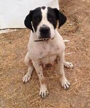 URGENT RESCUE DOG TRIXIE NEEDS HER FOREVER LOVING HOME Windsor Hawkesbury Area Preview