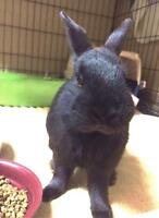 "Young Male Rabbit - Dwarf: ""Fawkes"""