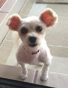 RSPCA LOST DOGS - POMMY AND HAPPY - MOLENDINAR - 02/12/16 Molendinar Gold Coast City Preview