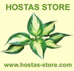 HOSTA PLANTS GINSENG AUSTREE HYBRID
