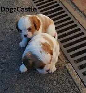 Purebred Cavalier King Charles Spaniel Puppies Dural Hornsby Area Preview
