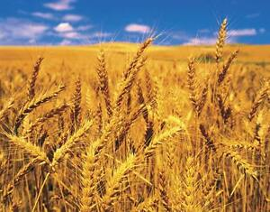 Winter Wheat For Sale