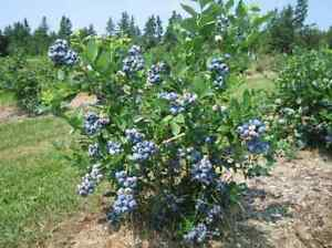 Wanted high bush blueberry trees