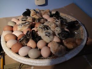 Baby Chicks For Sale (Hatched Some More) $3.00 - $4.00 ea.