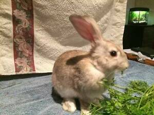 Giant British Cross Rabbits for Sale Stepney Norwood Area Preview