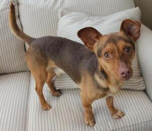"Young Male Dog - Terrier-Dachshund: ""Lorne"""