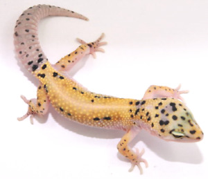 Looking for Breeder Leopard Gecko's For Sale