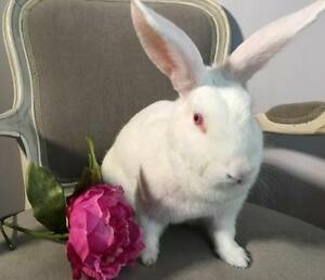 "Adult Female Rabbit - New Zealand: ""Gia"" Cambridge Kitchener Area image 1"
