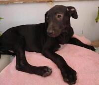 """Young Female Dog - Whippet-Terrier: """"Malu"""""""