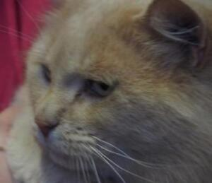 "Adult Male Cat - Domestic Medium Hair: ""Boomer"""