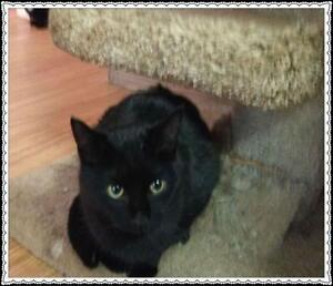 """Young Male Cat - Domestic Short Hair-black: """"Panther"""""""