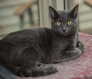 "Adult Female Cat - Domestic Short Hair: ""Smudge"" London Ontario image 1"