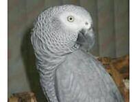 African grey (semi tame)