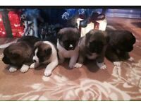 5 beautyfull full bread japanese akita puppies