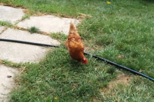 Chickens | Adopt or Rehome Livestock in Toronto (GTA