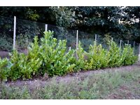 60 foot of Evergreen Laurel Hedging ready for your garden now £150 (see video)