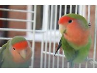 LOVEBIRDS £30-£35 + CAGES