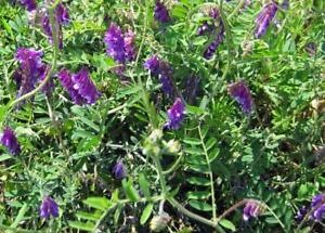 hairy vetch seed for winter cover crop