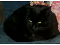 Black male cat, 'Smoke' missing since 25 Feb. Neutered. Black collar. Beech Hall Rd E4 9NN