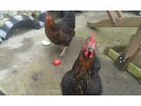 *FREE* to GOOD HOME - Two Rhode Island Hybrid Hens / Chickens.