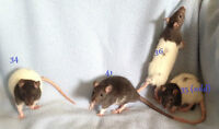 5 week old male rats, $5 each or all 3 for $10