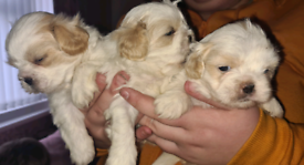 Shih tzu rare white puppies