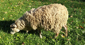 2 sheep for sale