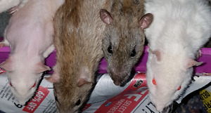 Pet rats Selectively bred-