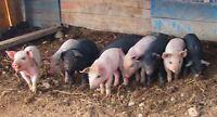 weaner piglets