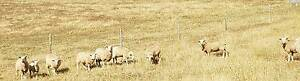 X Bred sheep for sale Meadows Mount Barker Area Preview