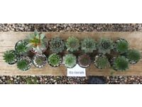 Sempervivum A Collection Of 8 Named Varieties x16 *Available To Buy From ebay, Read Description*
