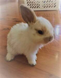 Mini Lops for Sale Lansvale Liverpool Area Preview