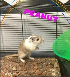 "Adult Female Small & Furry - Gerbil: ""Peanut & Sophie"""