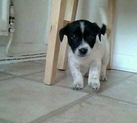 One year old jack Russell for sale
