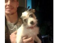 1 year old jack Russel x Bision fraise female