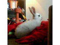 Giant papillan rabbit